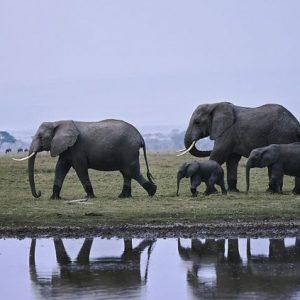 L'éléphant d'Afrique désormais en danger d'extinction, selon l'UICN
