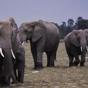 Côte d'Ivoire: les éléphants plus que jamais menacés d'extinction